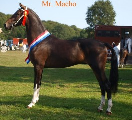 2-jarige hengst Mr. macho kampioen in Oldebroek